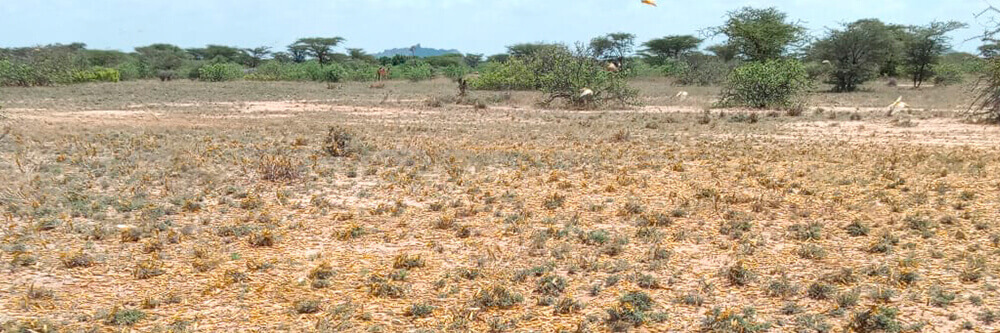 Heuschreckenplage in Kenia Malteser International MI Katastrophen